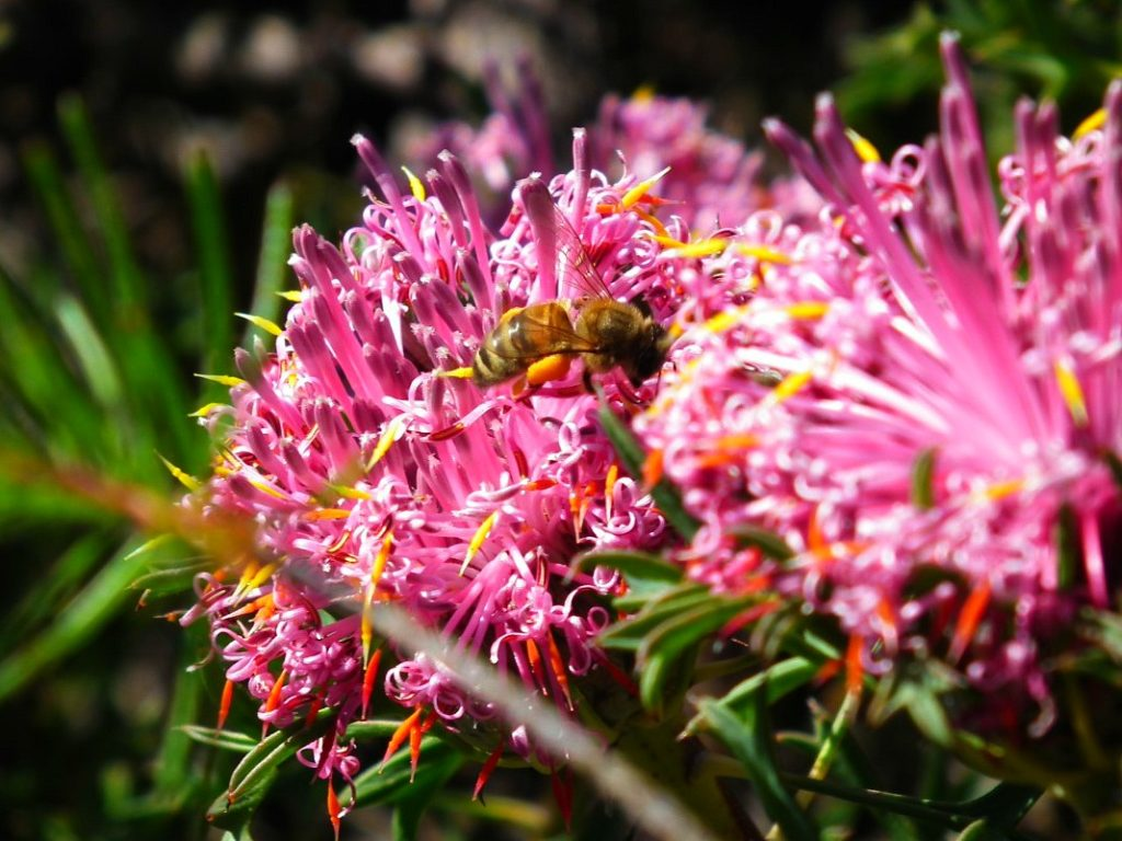 A bee busily pollinating the wildflowers at Lesmurdie Falls