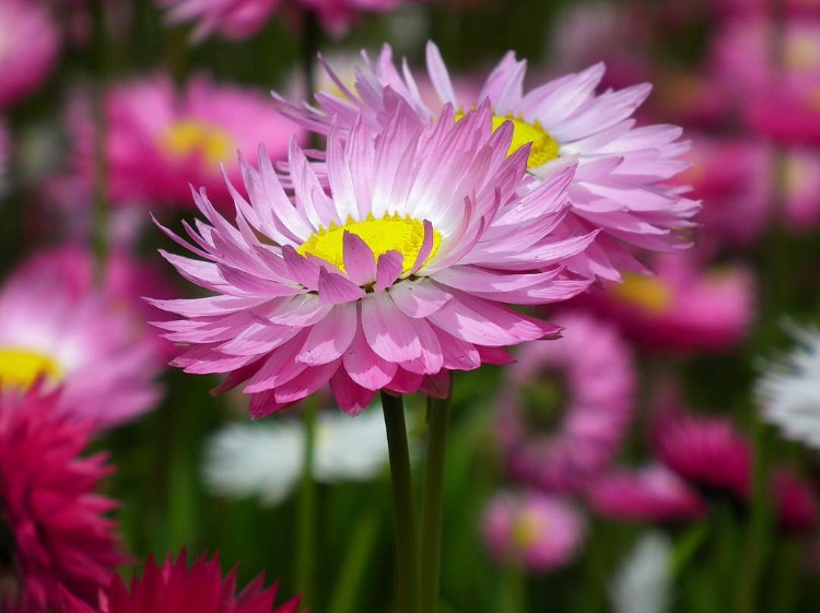Paper daisies are native to Western Australia